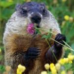 groundhog - woodchuck - whistlepig