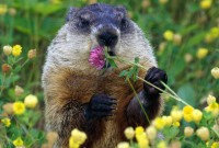 Woodchuck or Groundhog?